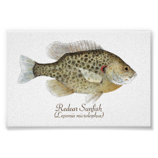 Redear Sunfish Art Poster