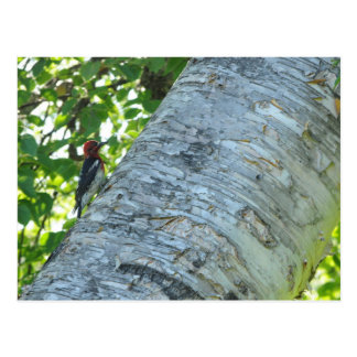Redheaded woodpecker postcard