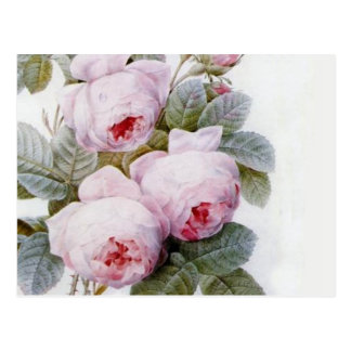 Redoute 4 (Rose) Postcard