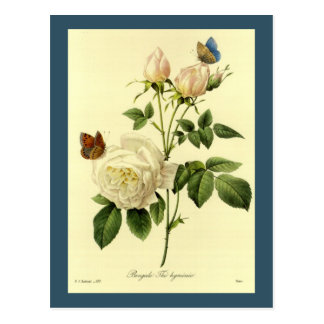 Redoute Illustration Bengal Rose Hymanee Postcard