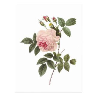 Redoute Rose 2 Post Cards