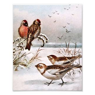 Redpoll and Snowflake Birds Photographic Print