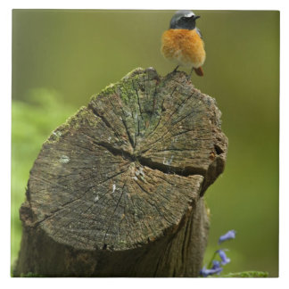 Redstart (Phoenicurus phoenicurus) on fallen Large Square Tile