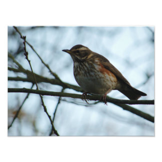 Redwing Perched Photo Print