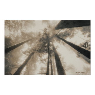 Redwood Forest, Northern California Poster