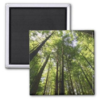 Redwood Forest, Rotorua, New Zealand Magnet