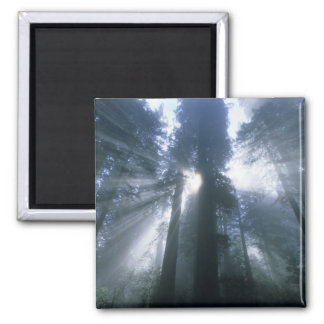 Redwood National Park, Del Norte County, foggy Square Magnet
