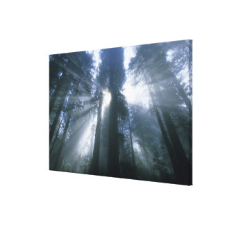 Redwood National Park, Del Norte County, foggy Stretched Canvas Print