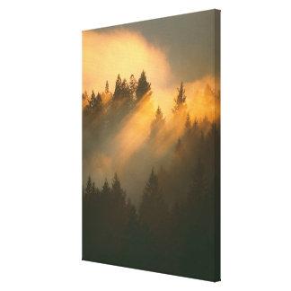 Redwood trees in coastal fog, Marin County, Canvas Print