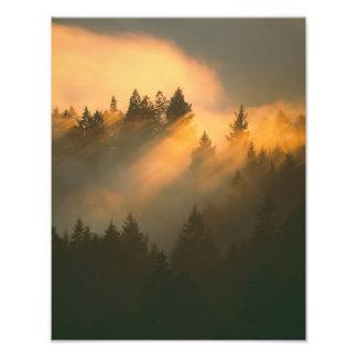 Redwood trees in coastal fog, Marin County, Photo Print