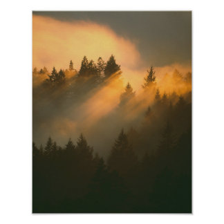 Redwood trees in coastal fog, Marin County, Poster