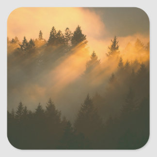 Redwood trees in coastal fog, Marin County, Square Sticker