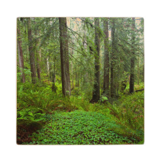Redwood Trees in Morning Fog with Sunrays Wood Coaster