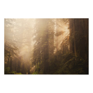 Redwood Trees in Morning Fog with Sunrays Wood Print