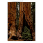Redwood Trees, Sequoia National Park. Card