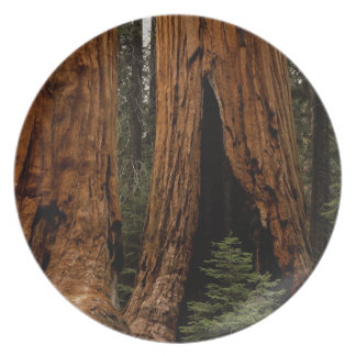 Redwood Trees, Sequoia National Park. Dinner Plates