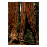 Redwood Trees, Sequoia National Park. Greeting Card