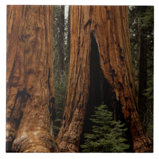 Redwood Trees, Sequoia National Park. Tile