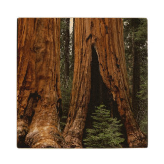 Redwood Trees, Sequoia National Park. Wood Coaster