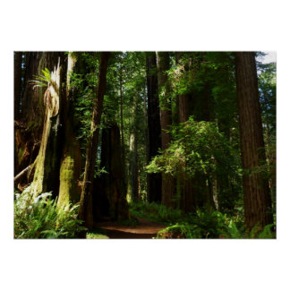 Redwoods and Ferns in Redwood National Park Poster