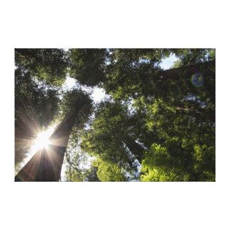 Redwoods, Humboldt Redwoods State Park Stretched Canvas Prints
