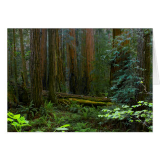Redwoods In Muir Woods National Park Card