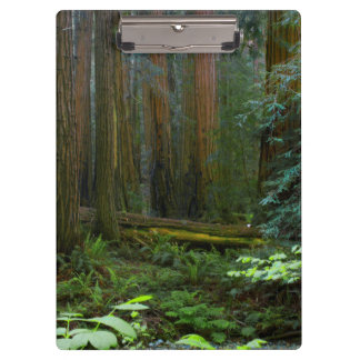 Redwoods In Muir Woods National Park Clipboard