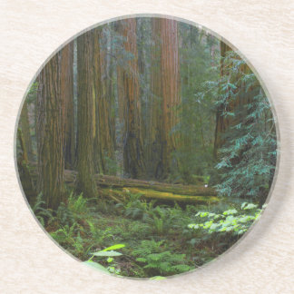 Redwoods In Muir Woods National Park Coaster