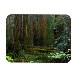 Redwoods In Muir Woods National Park Magnet