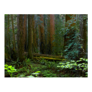 Redwoods In Muir Woods National Park Postcard