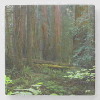Redwoods In Muir Woods National Park Stone Coaster