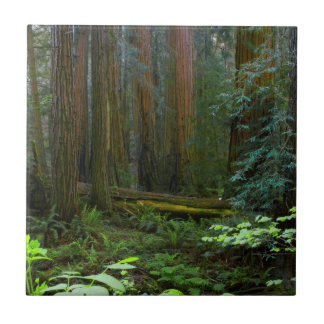 Redwoods In Muir Woods National Park Tile