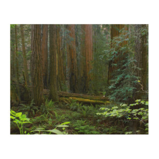Redwoods In Muir Woods National Park Wood Prints