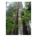 Redwoods Perspective Postcards