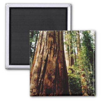 Redwoods- Yosemite Square Magnet