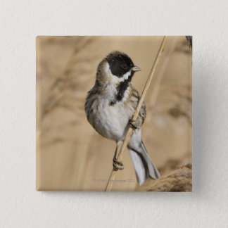 Reed Bunting (Emberiza schoeniclus) perched in 15 Cm Square Badge