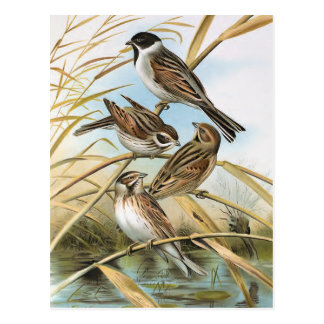 Reed Buntings Vintage Bird Illustration Postcard