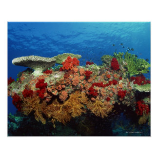 Reef scenic of hard corals , soft corals poster
