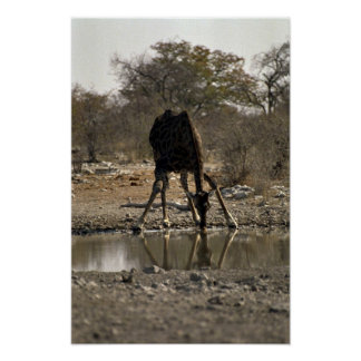 Reflected image of a drinking giraffe posters