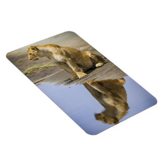 Reflection of a Lioness Magnet