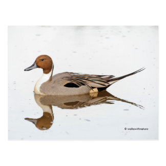 Reflections of a Northern Pintail Postcard
