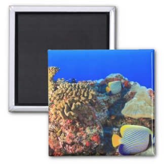 Regal Angelfish Pygoplites diacanthus), Magnet
