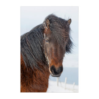 Regal Icelandic Horse Headshot Acrylic Wall Art