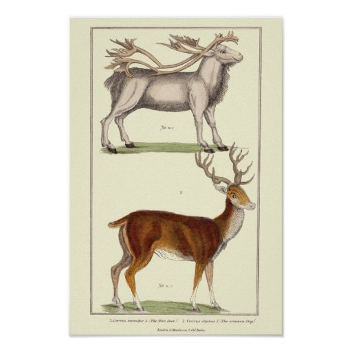 REIN DEER AND THE COMMON STAG PRINT