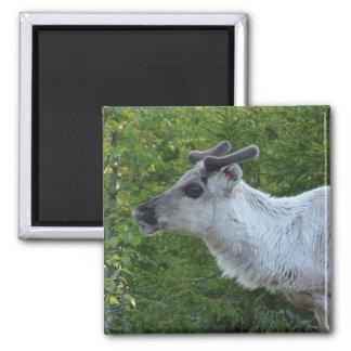 Reindeer in Lapland magnet