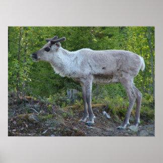 Reindeer in Lapland poster