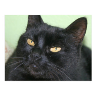 Relaxed Black Cat Portrait Postcard