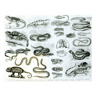 Reptiles, Serpents and Lizards Postcard