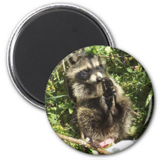 Rescued & Rehabilitated Raccoon Baby 6 Cm Round Magnet