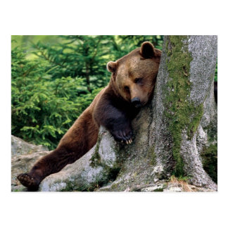 Restful Brown Bear Wildlife Series # 10 Postcard